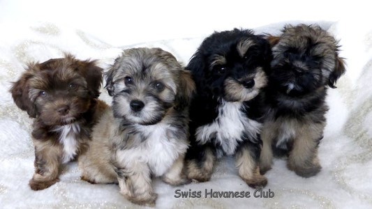 of the green Silence - Swiss Havanese Club